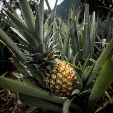 Spoznávanie ananásu zo štyroch kolies 009